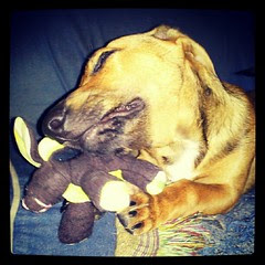 Booth chomping on his new bunny #adoptdontshop #foster #puppy #dogs #dogtoy