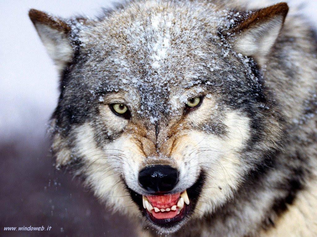 Risultati immagini per lupi che lottano