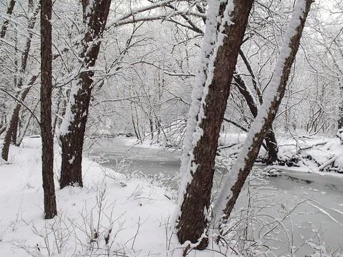 river birch by NW branch