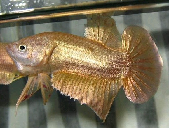 IKAN CUPANG - BAGAN THE FINEST INDO BETTA FIGHTERS