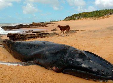 Porto Seguro: Sétima baleia Jubarte é encontrada morta