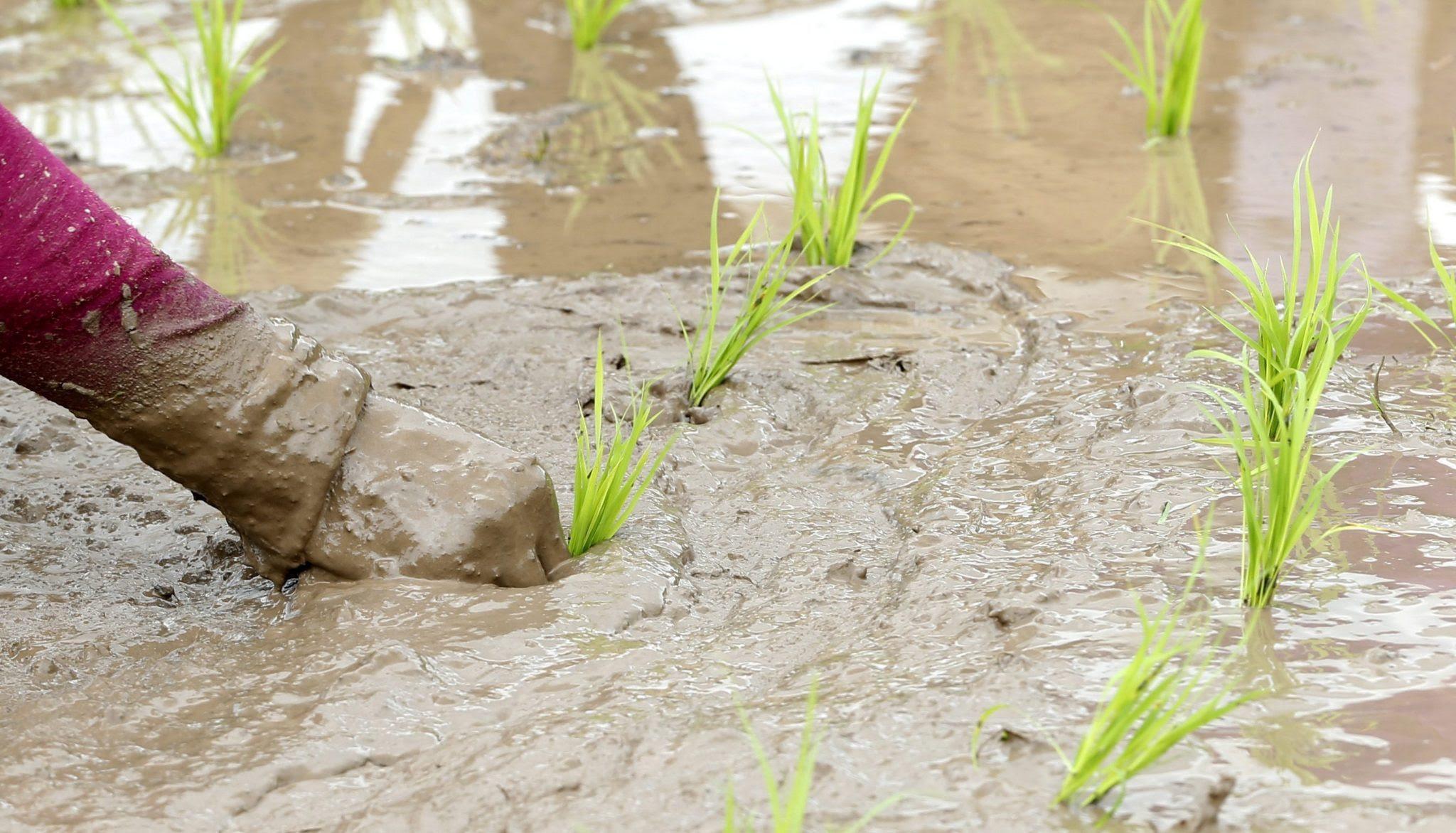 El arroz constituye el alimento básico en Irán, que busca en España posibles soluciones a su escasez hídrica.