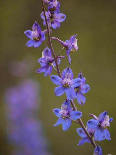 umbrella larkspur - delphinium umbraculorum