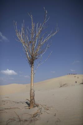 Álamo solitario en el desierto de Taminchagan (China).