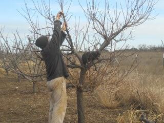 2017 Fruit Tree Pruning