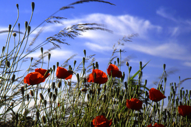 Remembrance Day (also known as Poppy Day, Armistice Day