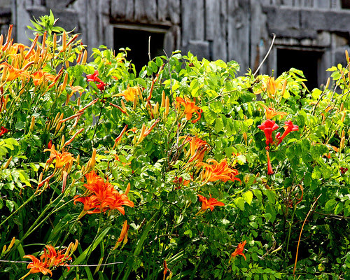 Summer Color - Loving the summer color right now, especially the tiger lilies along the back roads.  :-))