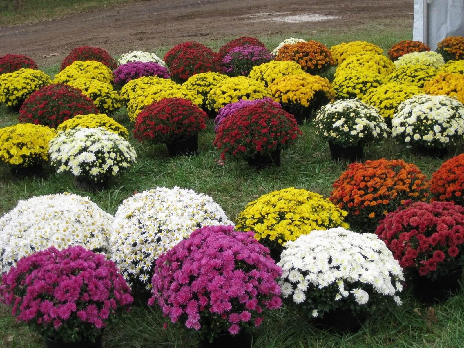 garden mums