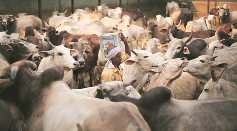 cows news, opinion news, india news, indian express news