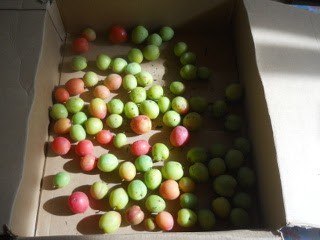 More 2015 Plums