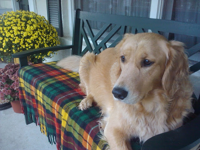 Golden on a Buchanon plaid throw