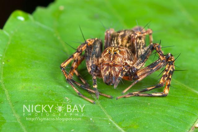 Lynx Spider (Oxyopidae) - DSC_4156