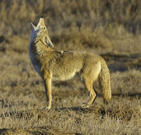 Wiki: Coyote   upcScavenger