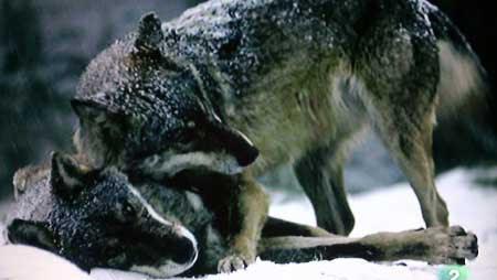 El Lobo Tsubullobu Canis Lupus En Asturias