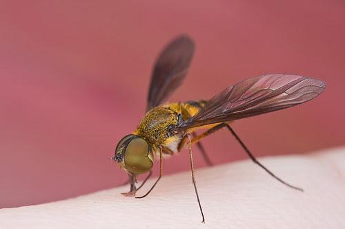macro photography tip Bee fly on hand........IMG_2192 copy