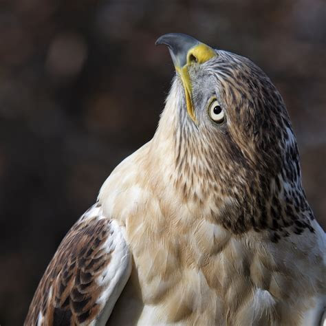 Birds of Prey in Winter Snow   Photography Workshop with