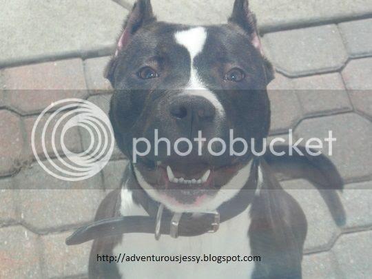 photo pitbulldognamedMaggie_zps28b80482.jpg
