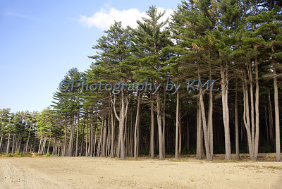 tall pine trees at the edge of the beach