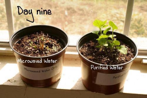 Ecco un progetto di fiera scienza presentata da una ragazza in una scuola secondaria nel Sussex.  In esso ha preso acqua filtrata e diviso in due parti.  La prima parte ha riscaldato a ebollizione in una pentola sulla stufa, e la seconda parte ha riscaldato a ebollizione in un forno a microonde.  Poi, dopo il raffreddamento ha usato l'acqua per l'acqua due impianti identici per vedere se ci sarebbe alcuna differenza nella crescita tra l'acqua bollita normale e l'acqua bollita in un forno a microonde.  Pensava che la struttura o l'energia dell'acqua può essere compromesso dal forno a microonde.  Come si è scoperto, anche lei era stupito la differenza, dopo l'esperimento che è stato ripetuto dai suoi compagni di classe di un certo numero di volte e ha avuto la stessa result.It è noto da alcuni anni che il problema con microonde nulla non è la radiazione chi è abituato a preoccupare, è come si corrompe il DNA nel cibo in modo che il corpo non è in grado di riconoscere it.Microwaves non funzionano modi diversi di sostanze diverse.  Qualunque cosa si mette nel forno a microonde subisce lo stesso processo distruttivo.  Le microonde agitano le molecole a muoversi sempre più velocemente.  Questo movimento provoca attrito che denatura il trucco originale della sostanza.  Essa si traduce in distrutte vitamine, minerali, proteine e genera il nuovo materiale chiamato composti radiolitici, cose che non si trovano in nature.So il corpo avvolge in cellule di grasso per proteggersi dal cibo morto o si elimina in fretta.  Pensate a tutte le Madri scaldando il latte a questi apparecchi 'sicuri'.  Che cosa circa l'infermiera in Canada che riscaldato il sangue per un paziente trasfusione e lo uccise accidentalmente quando il sangue andato a morto.  Ma i creatori dicono che è sicuro.  Ma la prova è nelle immagini di piante viventi che muoiono!