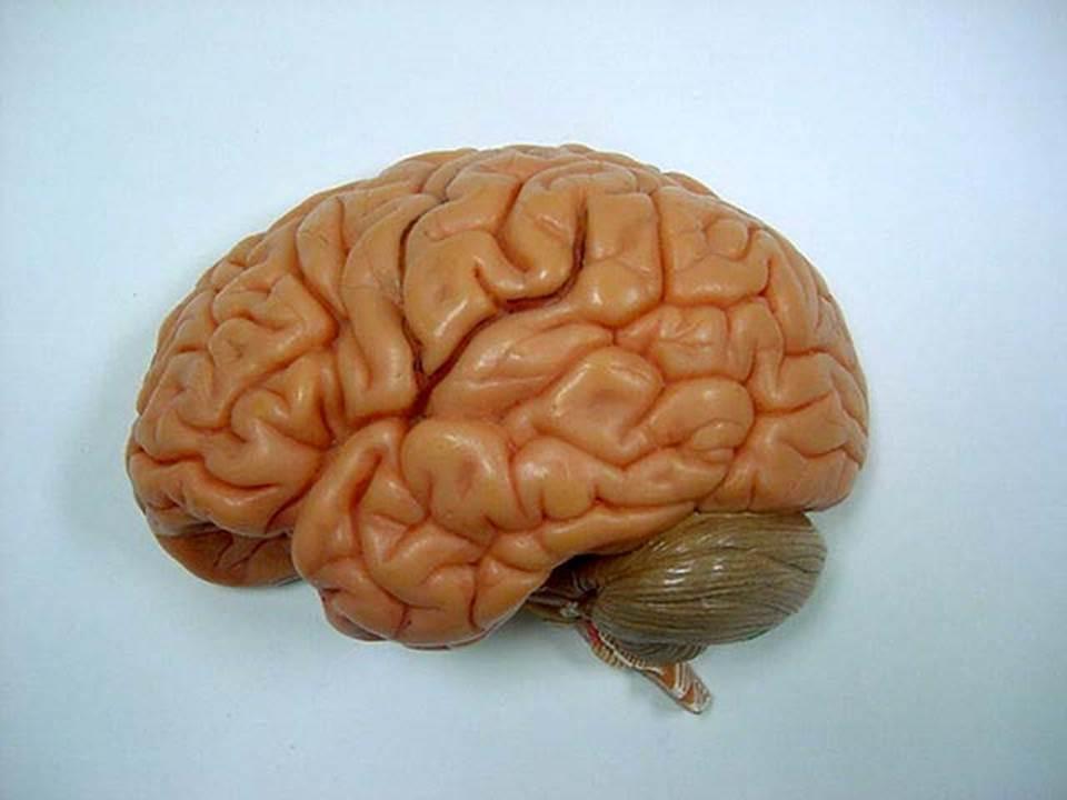 Diagram Unlabeled Brain Anatomy - Aflam-Neeeak