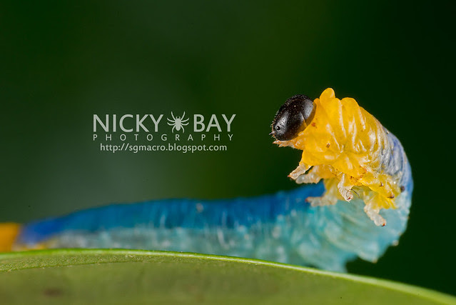 Sawfly larva (Symphyta) - DSC_9749