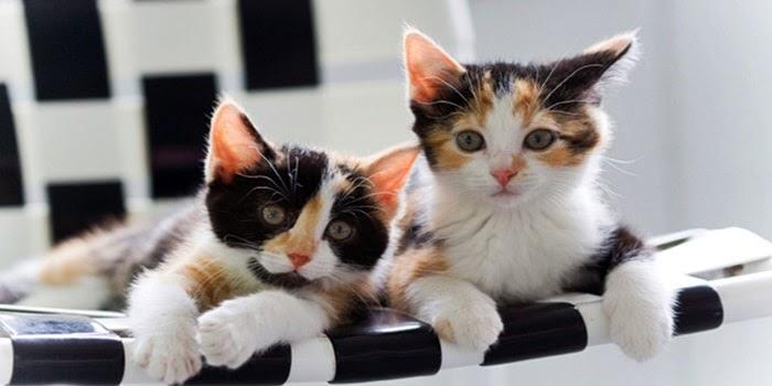Gambar Kucing Jantan Dan Betina godean.web.id
