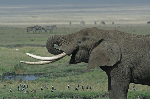 2016-04-12-1460456768-6355972-Tanzanian_Elephant.jpg