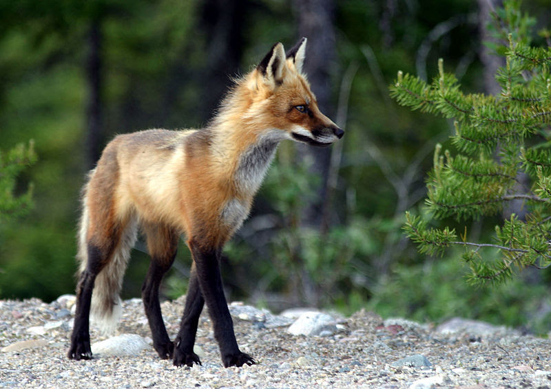 File:Adult fox.JPG