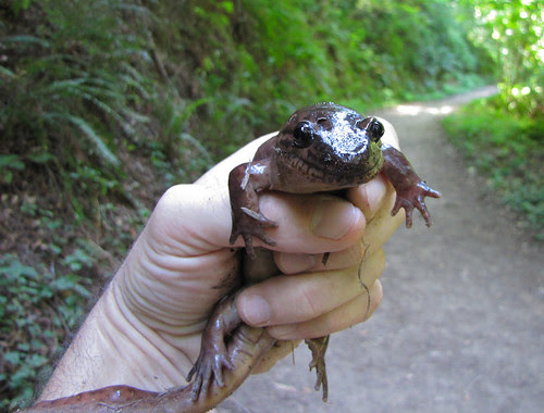 california giant salamander