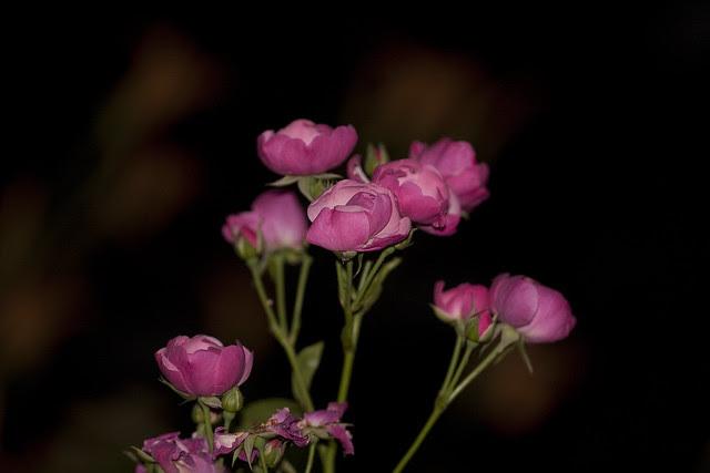 pink mini roses