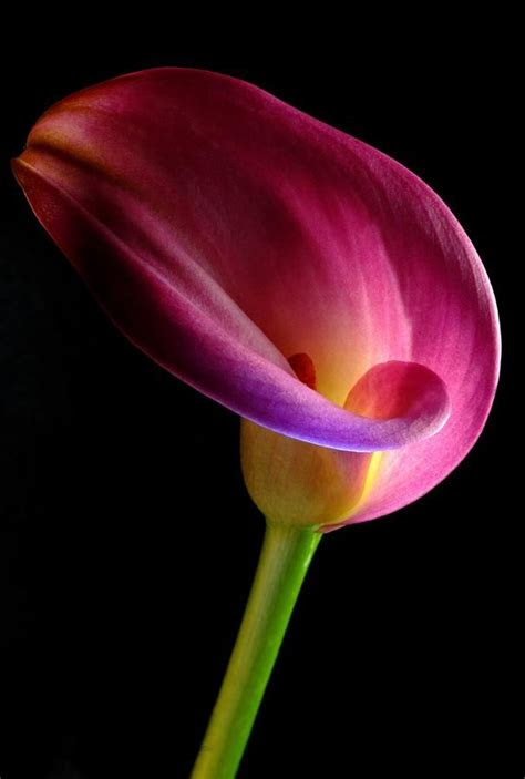top  ideas  calla lillies  pinterest calla