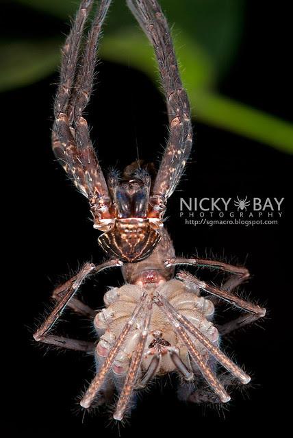 Huntsman Spider moulting (Sparassidae) - ESC_0074