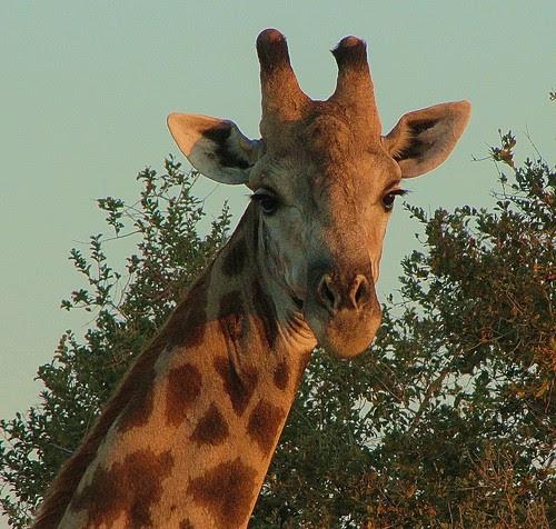 Giraffe by CharlesRay2010