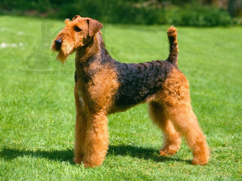 Airedale Terrier Breed Guide  Learn about the Airedale Terrier.