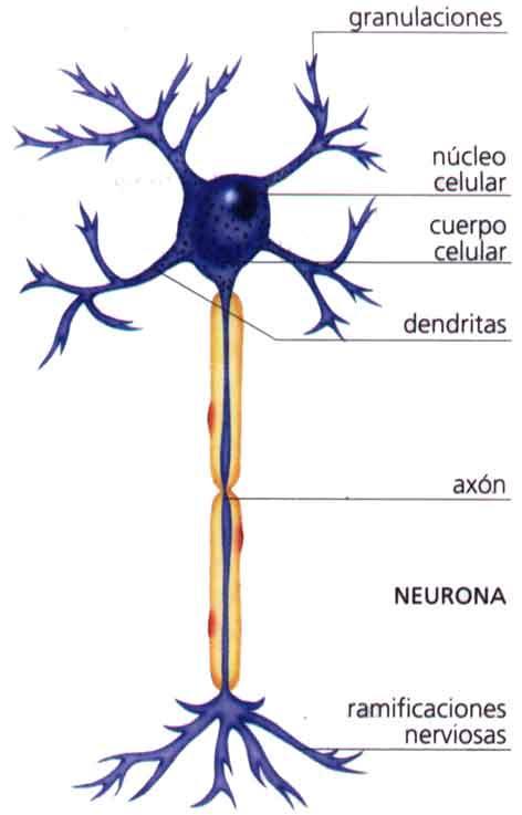 CIENCIAS BIOLOGICAS SISTEMA NERVIOSO