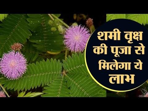 दशहरा पर शमी के वृक्ष की पूजा से मिलेगा ये लाभ || Significance of Shami ...