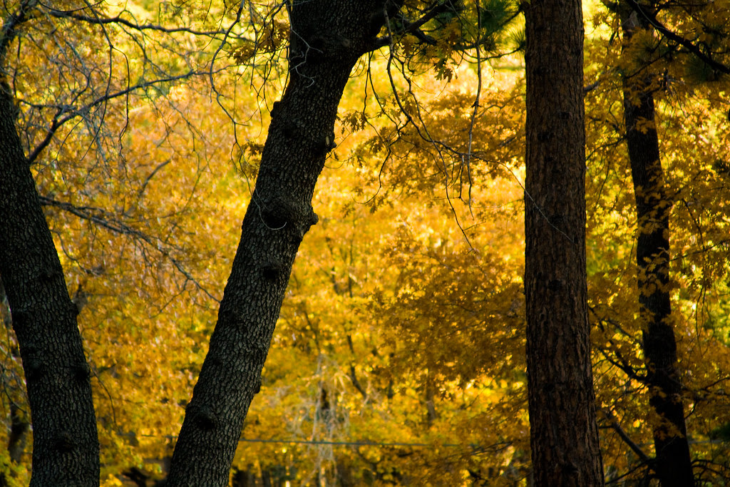Yellow Leaves Brown Bark