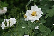 Rosa x alba 'Alba Semiplena', an Alba rose