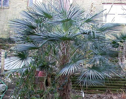 "Trachycarpus fortunei ""Bulgarian"""