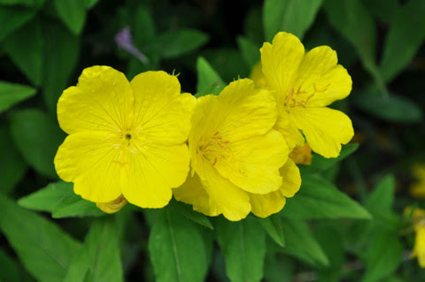 Image result for Evening Primrose