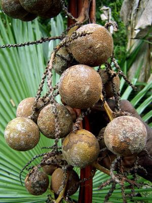 Cocos en en las montañas Foja, en Papúa Nueva Guinea.