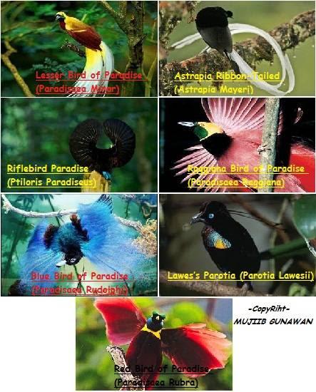 45+ Gambar Burung Cendrawasih Dan Warnanya Gratis Terbaru