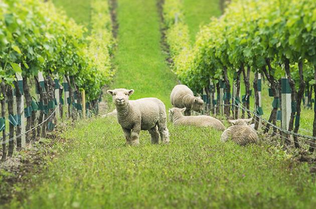 Yealands_babydoll-Sheep_004-630x417