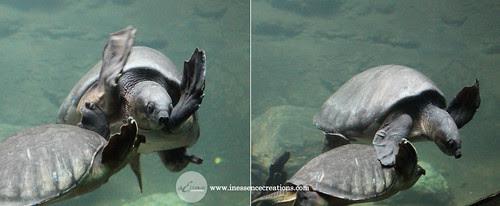 Soft-Shelled Turtles - Toronto Zoo, Ontario, Canada