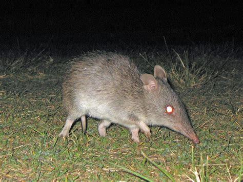 Long nosed bandicoot   Wikipedia