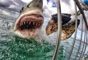 Nez à nez avec le grand requin blanc