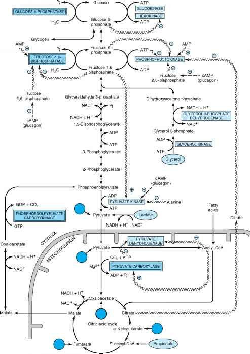 Gluconeogenesis Entry Points Bchm 2024 Concepts Of