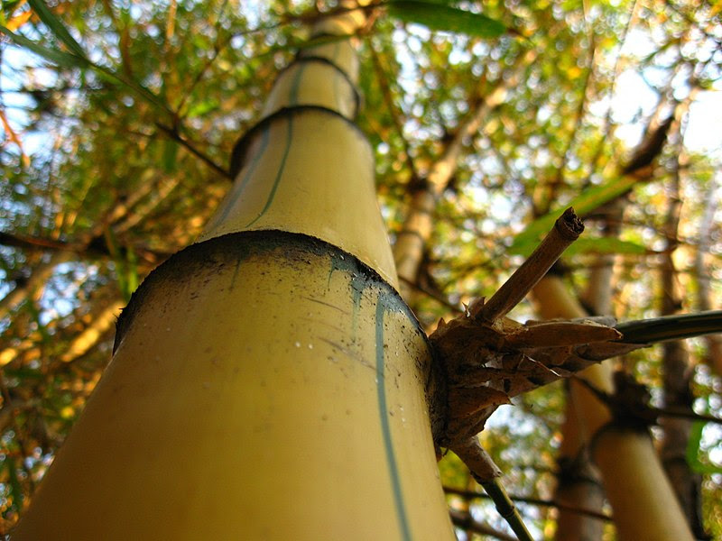 Ficheiro:Bambu-imperial-Detalhe.jpg