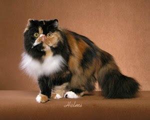 Black tortoiseshell and white Persian cat