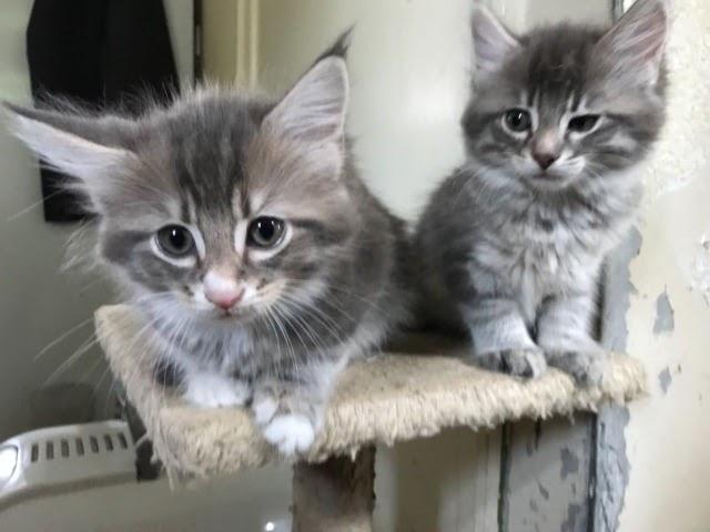 Ragdoll Kittens For Sale Craigslist - petfinder